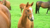 plnokrevník : Close-up of beautiful young foal in pasture with other foals and horses. Dostupné videozáznamy