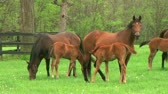 nurse : Beautiful group of mares grazing, with foal nursing in early spring. Stock Footage