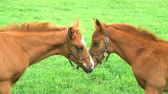 plnokrevník : Close-up of beautiful young yearlings showing affection by touching noses.