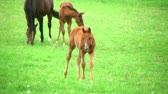 plnokrevník : Beautiful young foal walking in pasture with other foals and horses.