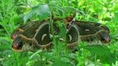 corte : Giant cecropia moths, largest in North America, mating in lush garden.