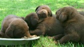 Litter of chocolate labrador retriever puppies sleeping around food bowl.