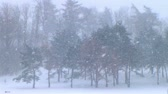 coniferous trees : Serene winter setting of large pine trees in blustery snowstorm in March.