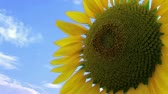 girassol : Close-up of large sunflower against beautiful blue sky, with motion.