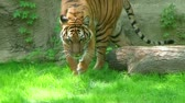 animals : Beautiful exotic siberian tiger walking and watching, while in captivity.