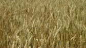 blow : Close-up of golden field of wheat blowing, ripe and ready for harvest. Stock Footage