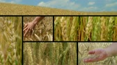 Composite of golden wheat crop fields ripe and ready for harvest.