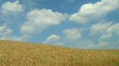 Large wheat field ready for harvest, against rolling clouds time lapse. Stock Footage