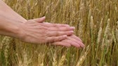 Close-up of hand sifting wheat crop in front of golden wheat field.