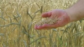 Close-up of hand sifting wheat crop in front of large wheat field.