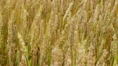 Golden field of wheat ripened and ready for harvesting, crane shot. Stock Footage