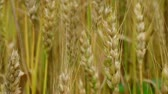 Macro of golden heads of wheat blowing, ripe and ready for harvest.
