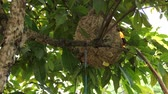 hornets : How to Catch a hornet on hive