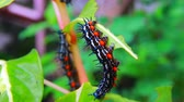 caterpillar worm striped black and white Walking eat on leaf  VDO 4K (Eupterote testacea, Hairy caterpillar) Stok Video
