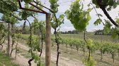 enology : Grape vines twining over arch. Italy. 3 shots in a sequence, pan