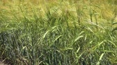 Stock Reed Hintergrund Stock Footage