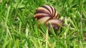 spiral : Slow-moving snail on the green grass Stock Footage