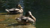 duck : Two ducks cleaning feathers in the water Stock Footage