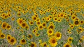 venkov : A meadow of sunflowers swinging in the wind