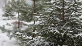 snowfall : Fir-tree in the forest during winter Stock Footage