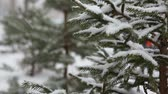 snowfall : Branch of fir-tree with snow during winter Stock Footage