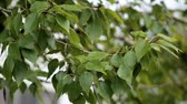 breeze : Branch of a tree with green leaves Stock Footage
