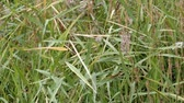 pântano : Sedge in the field in late summer Stock Footage