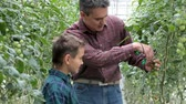 cultivado : Father and his son looking at tomatoes in the greenhouse Vídeos