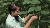 cultivado : Young woman taking care of tomato plant in greenhouse
