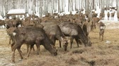 weihnachten : Deer walking around in winter and eating hay Stock Footage