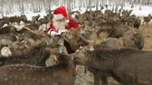 weihnachten : Santa standing amongst hungry deer and feeding them Stock Footage