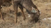 feno : Close-up of a cute farm deer chewing straw on a farm