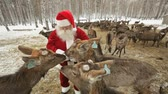 carinho : Santa Claus feeding deer herd pasturing on farmland Stock Footage