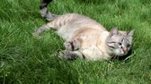 bem aventurança : Adorable cat lying on the grass and having a rest