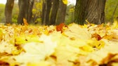 ahorn : Close-up der goldenen Laub Zittern im Herbstwind