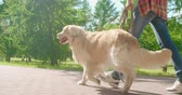 chůze : Follow shot of golden retriever being walked on leash by his teenage owner in park Dostupné videozáznamy
