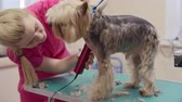 animais : Small terrier standing on the table on grooming salon and breathing with open mouth while woman clipping his coat