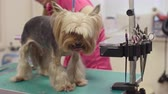 kurtka : Female groomer cutting hair of Yorkshire terrier on table and brushing him Wideo