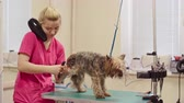 ferramentas : Woman using blow dryer and brushing legs of small terrier in grooming salon Vídeos