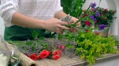 Валентин : Hands of florist cutting flower stems before arranging a bouquet Стоковые видеозаписи