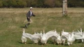 fazenda : Two boys in hats and rubber boots looking like Tom Sawyer and Huckleberry Finn running in the field behind flock of geese Stock Footage