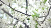 Lento vicino fino al Cherry Tree Blossoming Filmati Stock
