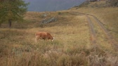 trees : A Brown Cow Feeding On Grass At The Edge Of Boreal Forest In Siberian Mountains At Daytime