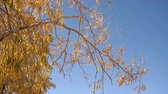 salgueiro : Willow Tree Branches With Yellow Leaves Swaying Slightly With Wind With Blue Sky Background