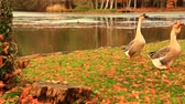male animal : Geese in the beautiful autumn park.