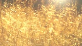 солнечные лучи : Warm summer sun light shining through wild grass field.