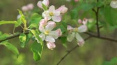 crab apple : Close-up apple tree twigs with flowers Stock Footage
