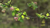 crab apple : Apple-tree twig with flowers blossom in spring day Stock Footage