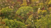 нечеткий : Beautiful dill on a blurred background