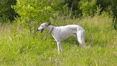 greyhound : English greyhound standing in the grass on a green meadow